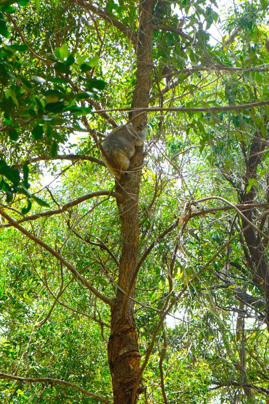 Koala Noosa