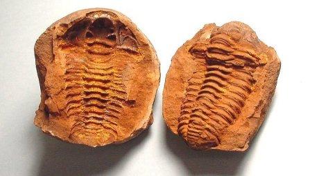 6fssl-trilobite-gravicalymene1-mold-cast
