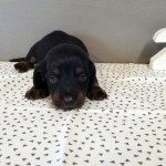 Autumn S 3 Week Old Puppies Zoeys Doxies