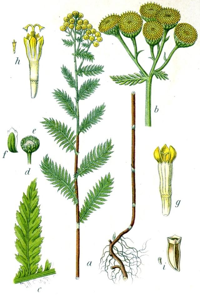 Пижма обыкновенная - ботаническая иллюстрация