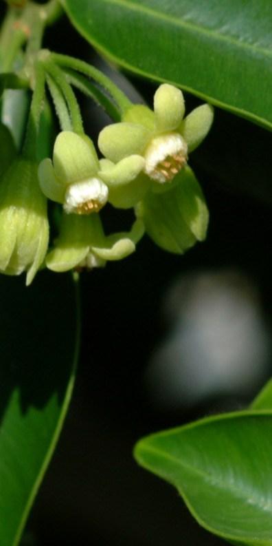 Aquillaria Sinensis by KFBG