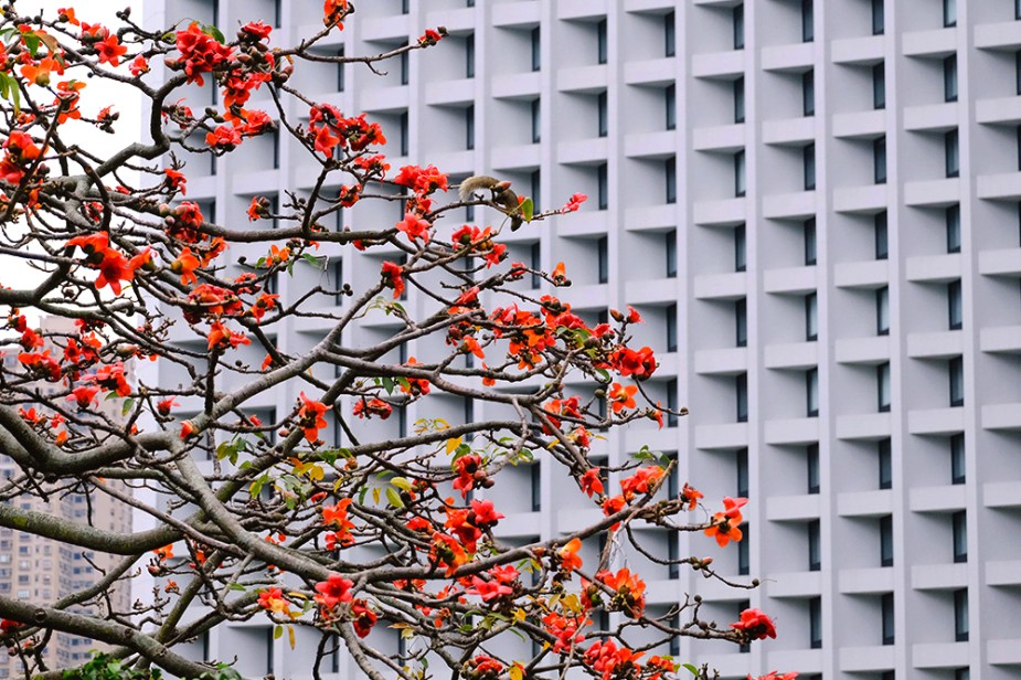 Hong Kong Hero: The Legendary Story of the Cotton Tree
