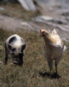Chicken Pig