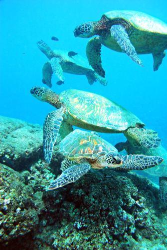 Oahu, Hawaii 2007 four sea turtles