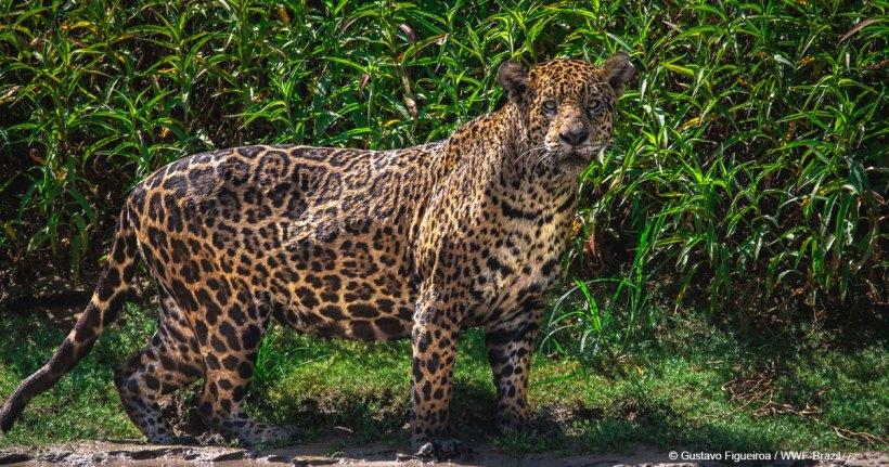grandes felinos impulsará la conservación del jaguar