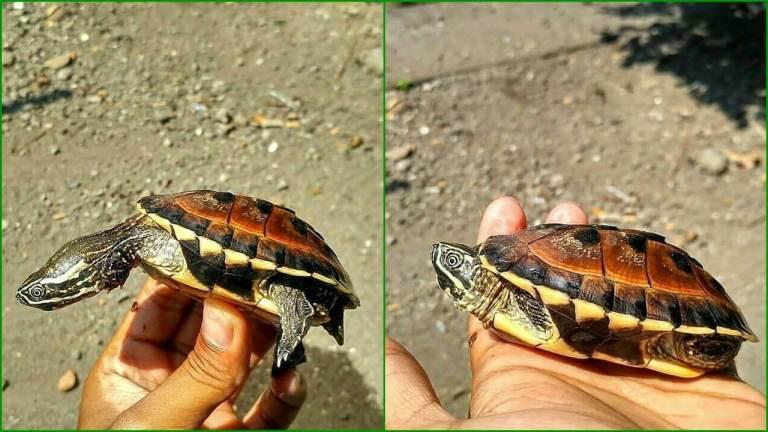 Kura Kura MSE ( Melayan Snail Eater )