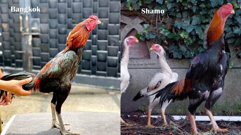 Perbedaan Ayam Shamo Dan Bangkok
