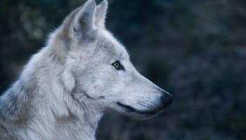 Dierensymboliek: de wolf