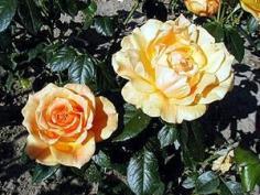 Zonta rosen