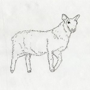 Lamm / Schaf / Ziege