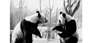 photo of National Zoo pandas