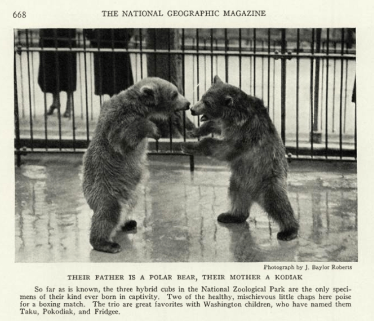 SNZ-hybrid-bears_NatGeo_Jun1937