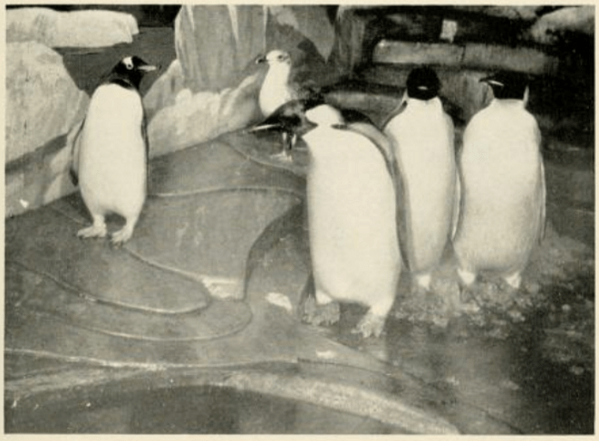 SNZ-penguins-1941