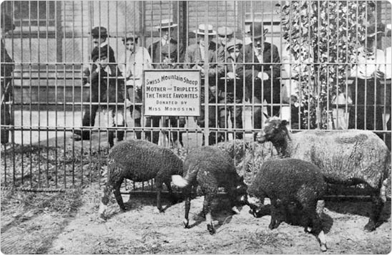 Sheep on display in Central Park, circa 1904. Source: 1904 Department of Parks Annual Report and available at https://www.nycgovparks.org/about/history/zoos/central-park-zoo.