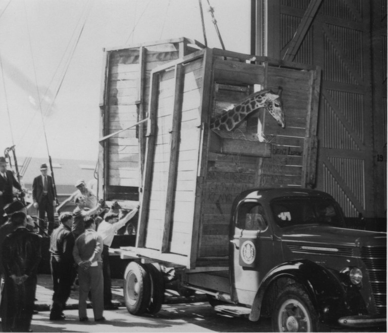 The giraffes loaded in their truck crates in New York