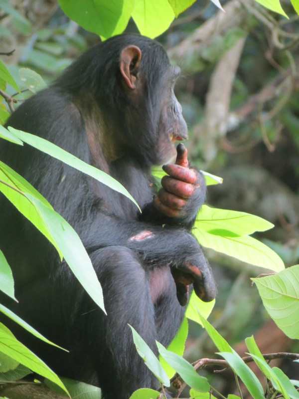 Chimpanzee Dallas ZooHoo!