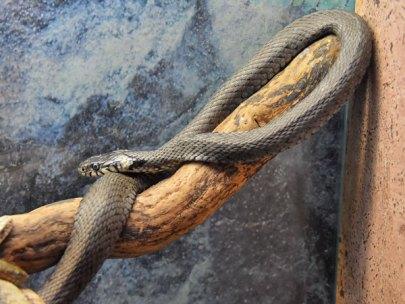 Natrix natrix / Grass snake in zoos