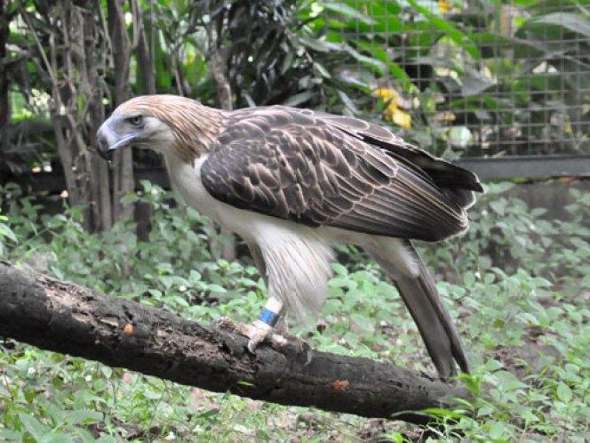 Pithecophaga jefferyi / Philippine eagle in zoos