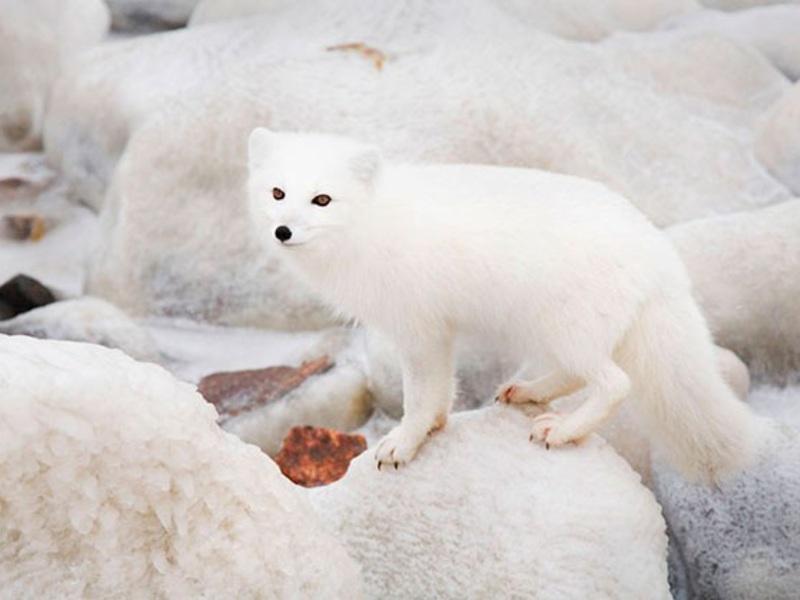 Helminták a sarki róka parancsnokában - Ki nevezik a kék róka?