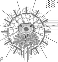 diagram of radiolaria wiring diagram forwarddepartment of invertebrate zoology protists handbook radiolaria diagram of radiolaria [ 1071 x 940 Pixel ]