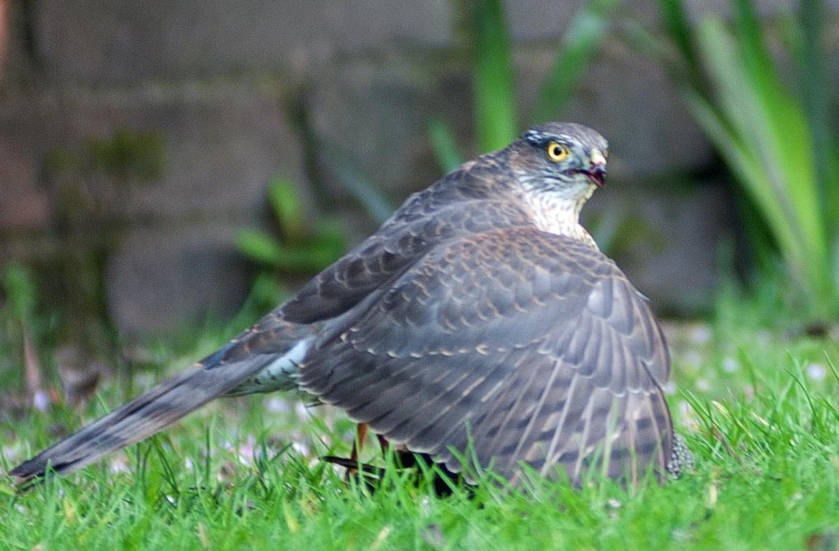 Sparrowhawk vs Starling
