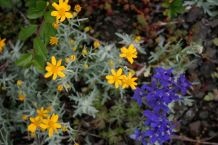 Arnica and larkspur