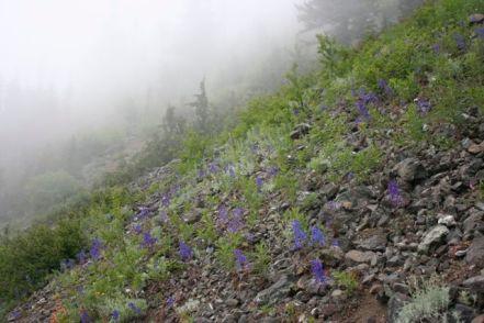 Hillside of delphiniums (larkspurs)