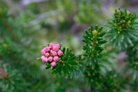 Pink mountain-heather (phyllodoce empetriformis)