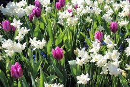 narcissi and tulips