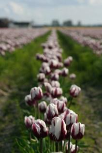 Zurel tulips