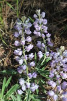 Tailcup lupine