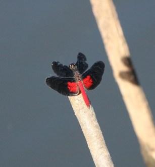 Dark-winged skimmer