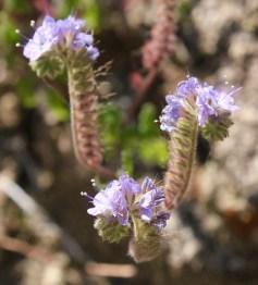 Lace-leaf phacelia (Phacelia distans)