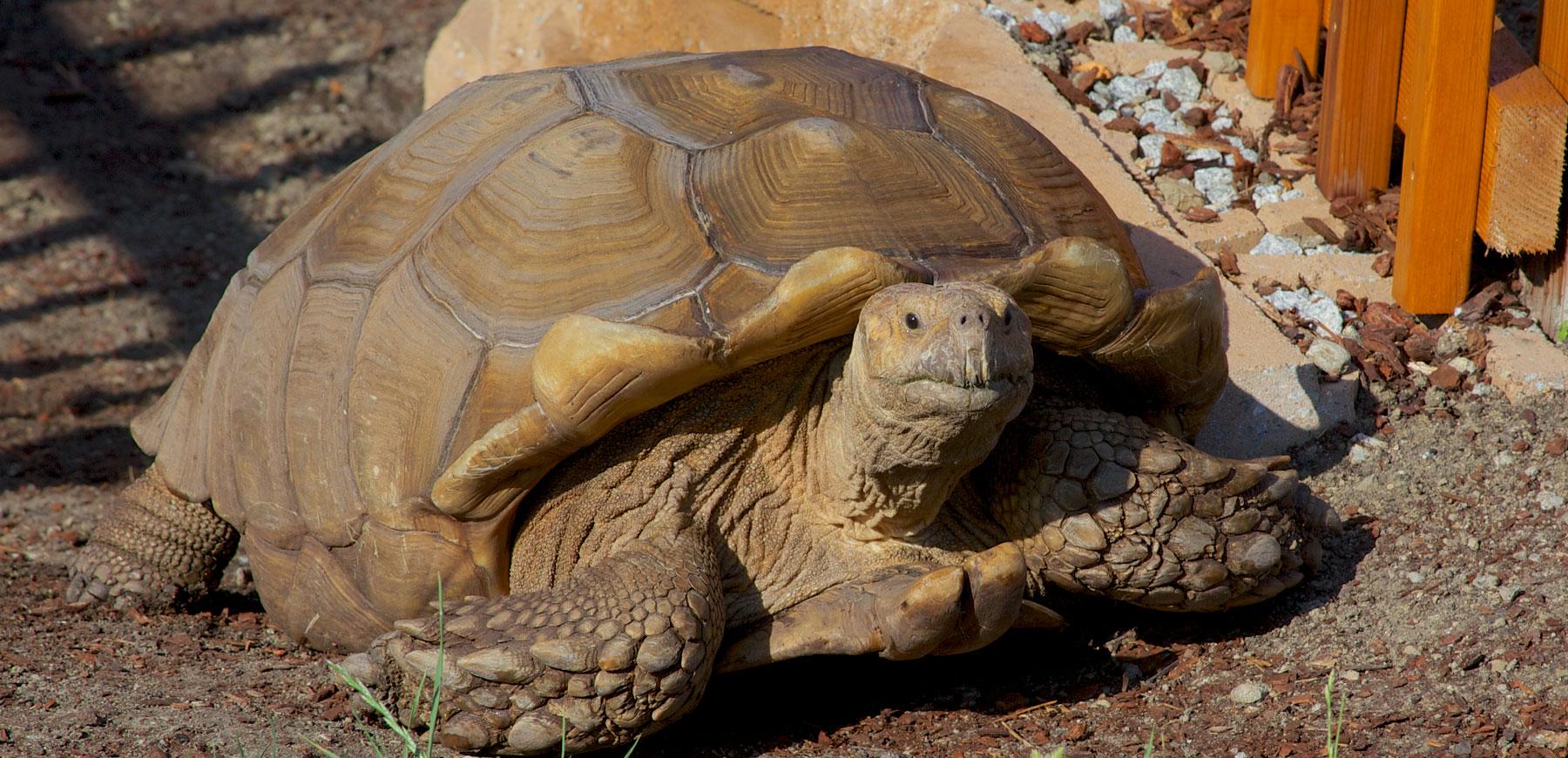 hight resolution of sulcata tortoise