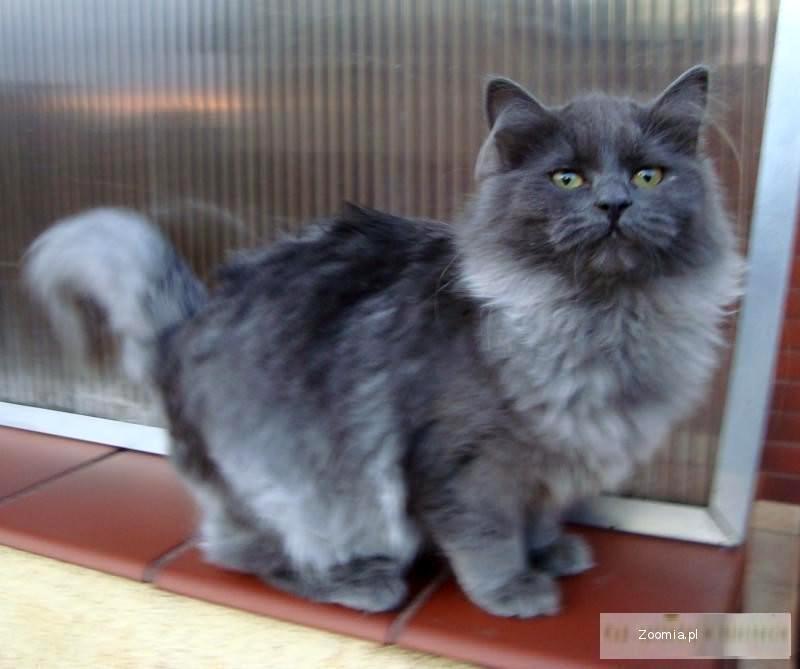 Kocita syberyjskie ze lska  Syberyjski  Koty