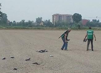 abbattimento di piccioni