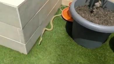 Photo of Capturan una serpiente de campo que se coló en un chalé
