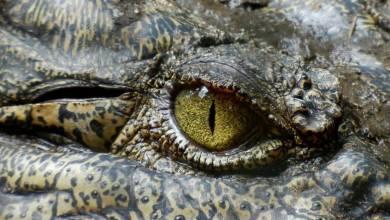 Photo of Las lágrimas de cocodrilo se parecen mucho a las humanas