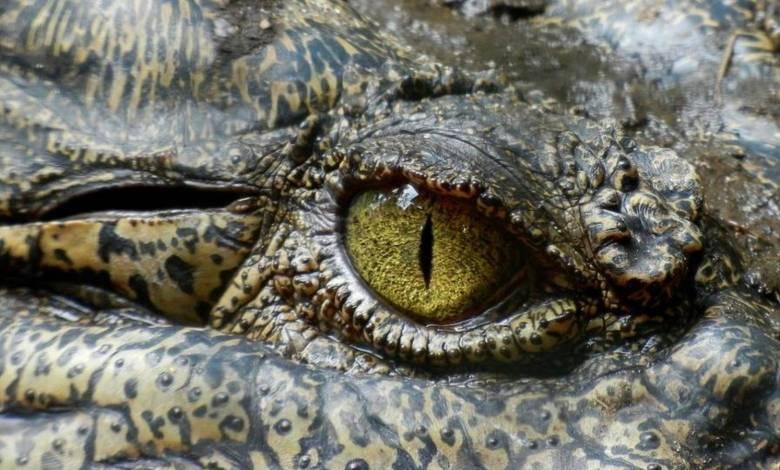 las-lagrimas-de-cocodrilo-se-parecen-mucho-a-las-humanas