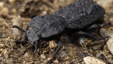 Photo of Este escarabajo acorazado puede soportar el peso de 39.000 personas: acabamos de descubrir el secreto de su 'diabólica' resistencia