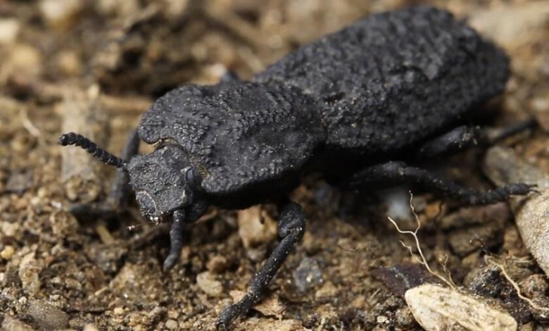 este-escarabajo-acorazado-puede-soportar-el-peso-de-39.000-personas:-acabamos-de-descubrir-el-secreto-de-su-'diabolica'-resistencia