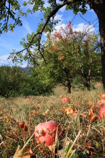 red-apples-on-the-ground