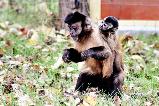 mama monkey carrying baby monkey on her back