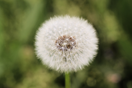 dandelion seed head picture still life