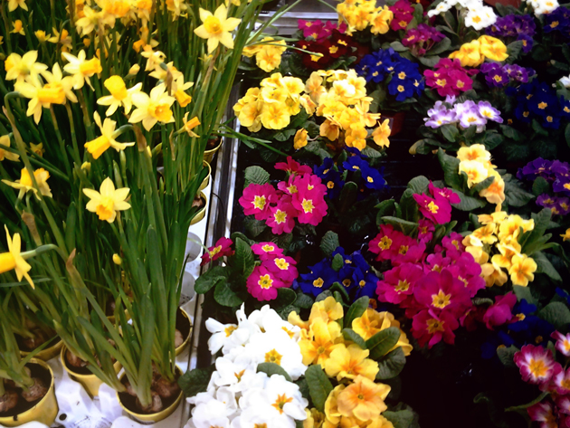 colorful spring flowers in planter narcissus and primula