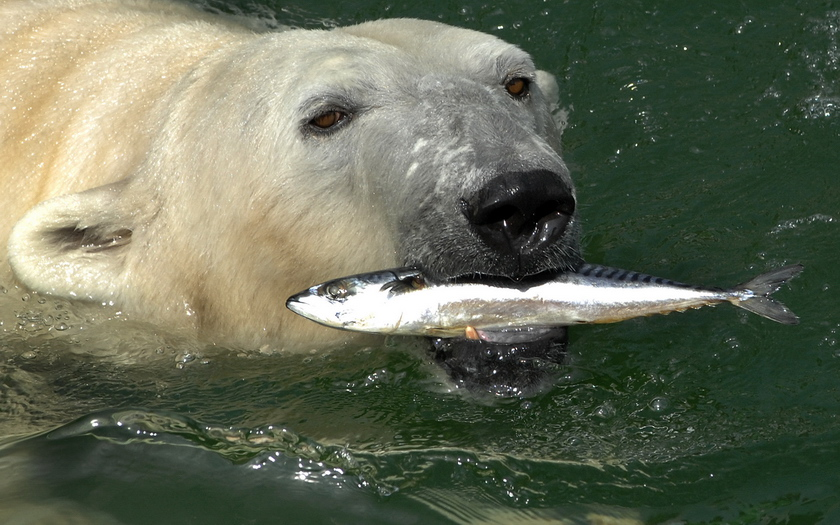 Do Polar Bear Eat Fish