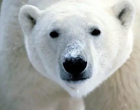 How Tall is a Polar Bear