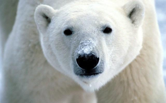 How far can a Polar Bear See