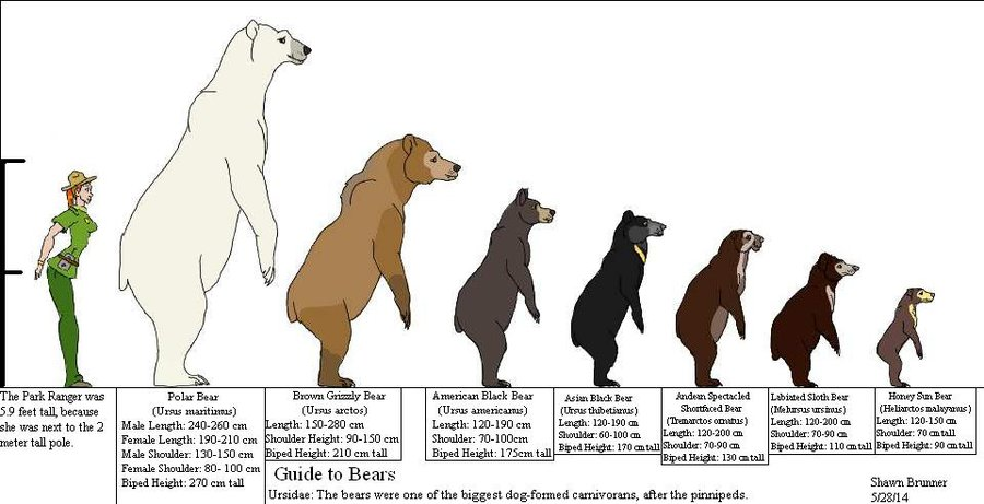 How Tall is a Polar Bear Standing Up compared to other bears and human