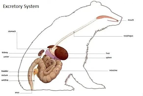 Polaar Bear Digestive System Diagram